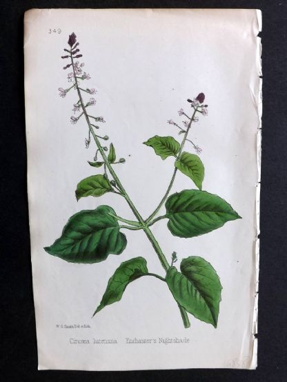 Hogg & Johnson 1860's Hand Col Botanical Print. Enchanter's Nightshade 349